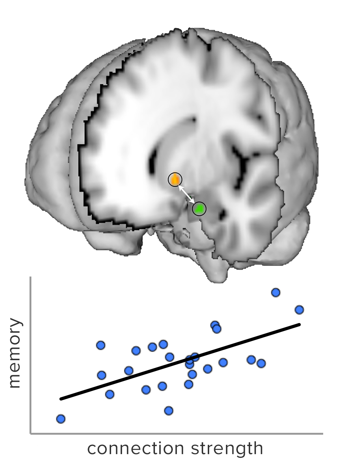 Image of braing highlighting connection between activity in the striatum and hippocampus, and graph that shows how strength of connection enhances memory in adolescents