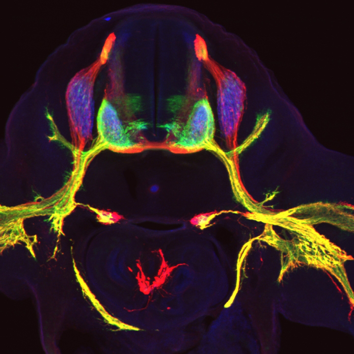 Flourescent image of motor neurons by the Jessell Lab