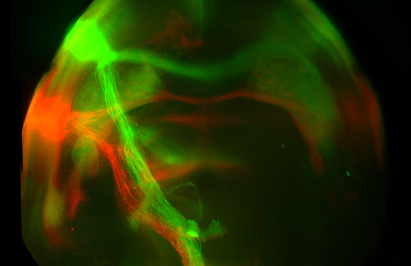 Neural projections from the sweet (green) and bitter (red) cortex terminate at distinct targets in the amygdala in the brains of mice (Credit: Li Wang/Zuker Lab/Columbia's Zuckerman Institute)